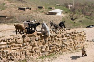 hayat-villadge-goats